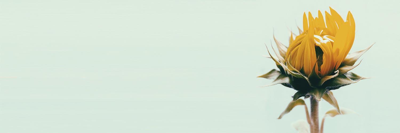 Avez-vous déjà goûté des cœurs de tournesols cuisinés par un chef étoilé ?
